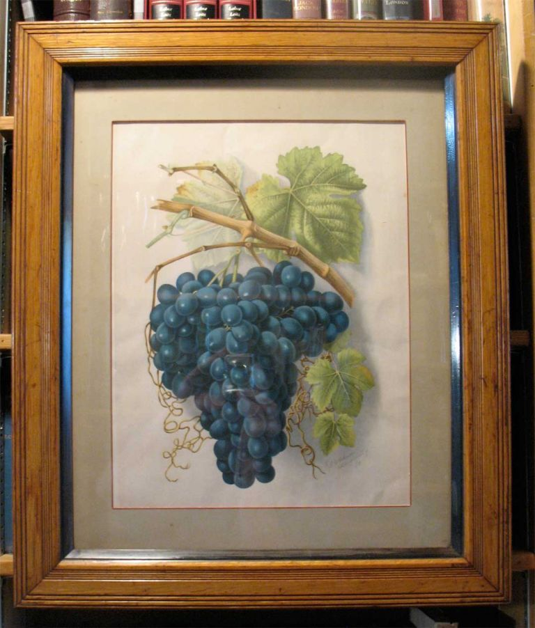 "SIngle plate - ""THE BLACK HAMBURGH"" - from GRAPES AND GRAPE VINES OF CALIFORNIA. Edward Bosqui, Hannah Millard, William Harring, publisher, artist, lithographer."