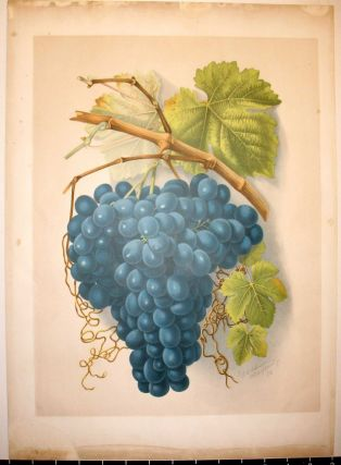 "SIngle plate - ""THE BLACK HAMBURGH"" - from GRAPES AND GRAPE VINES OF CALIFORNIA."